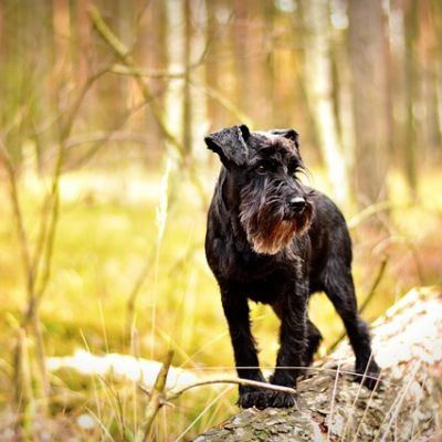 Why A Mini Schnauzer Could Be The Breed For You