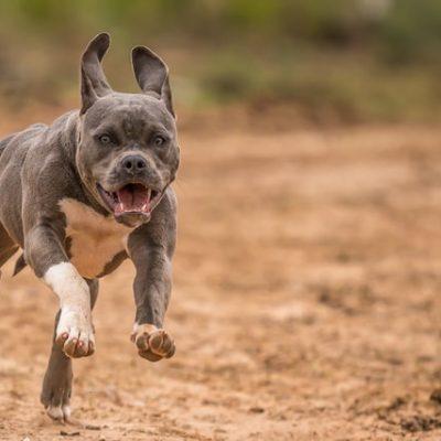 The Pitfalls Of Pit Bulls