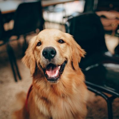 What Is Low Blood Albumin And How Can It Affect My Dog's Health?
